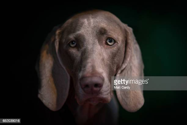 Weimaraner looks out from its bench on the third day of Crufts Dog Show at the NEC Arena on March 11, 2017 in Birmingham, England. First held in...