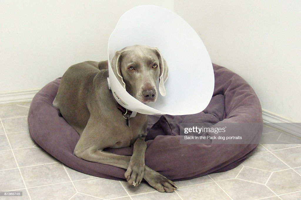 Weimaraner on dog bed with cone : Stock Photo