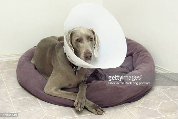 Weimaraner on dog bed with cone