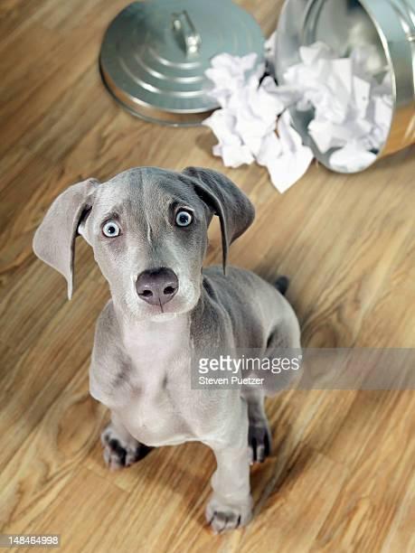 Weimaraner puppy getting into garbage