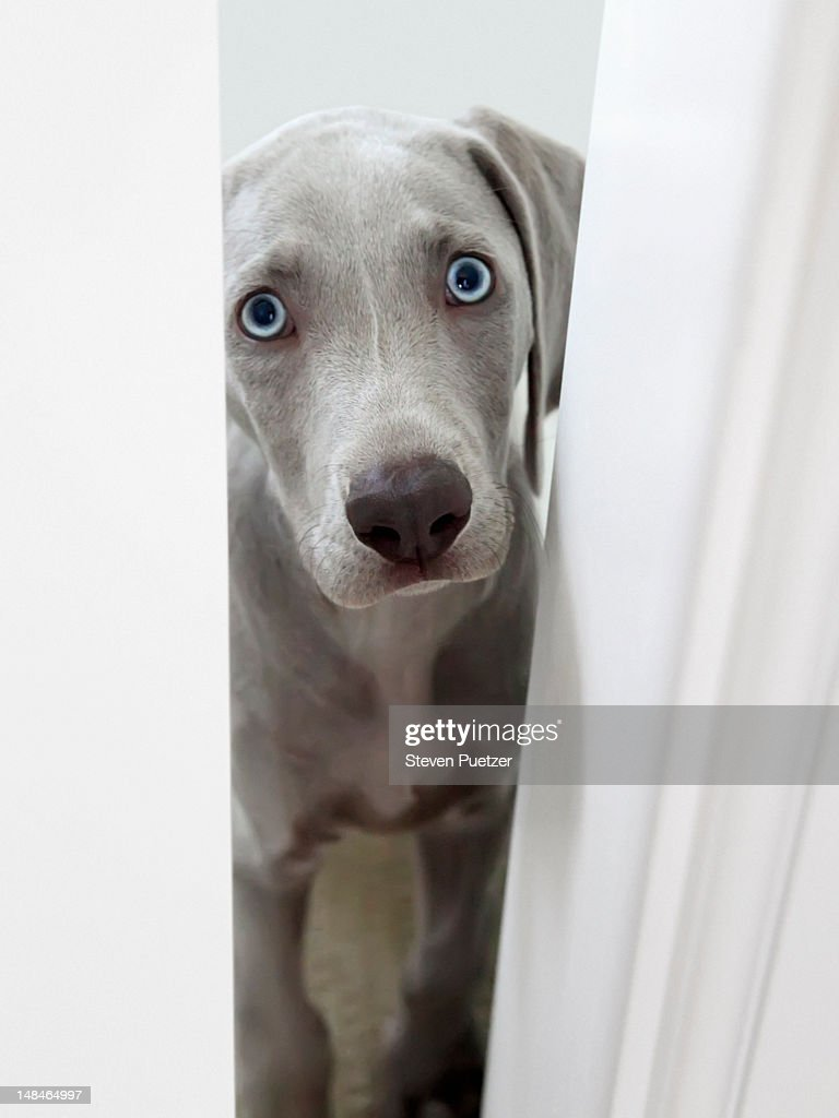Weimaraner puppy peeking through door