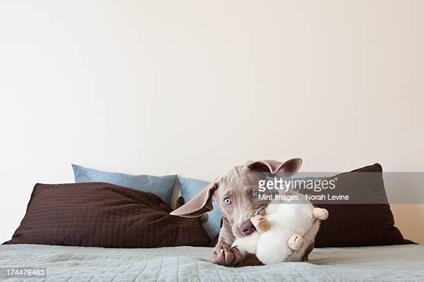 、Weimaraner 子犬が、ベッドとぬいぐるみ