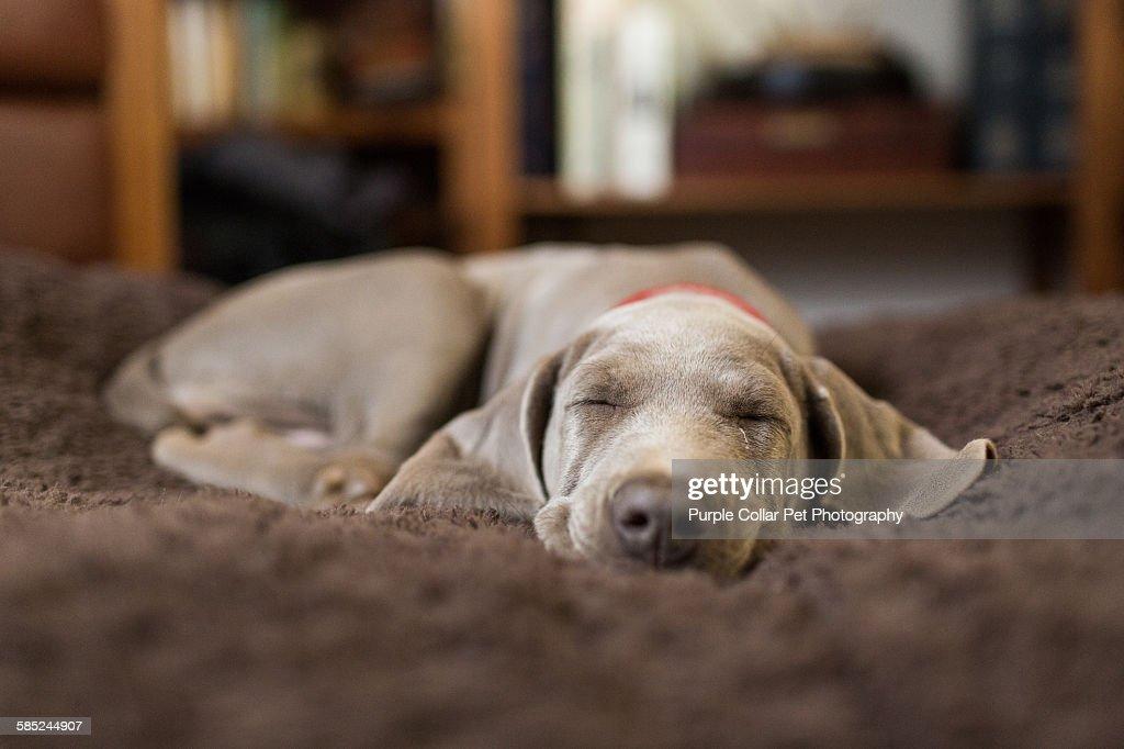 Weimaraner puppy sleeping indoors : Stock Photo