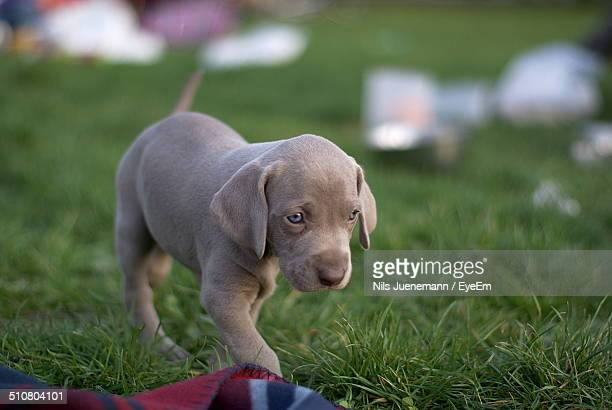 Weimaraner puppy walking on grass