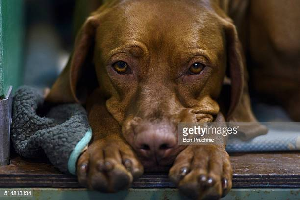 A weimaraner rests on a bench during the second day of Crufts Dog Show on March 11 2016 in Birmingham England First held in 1891 Crufts is said to be...