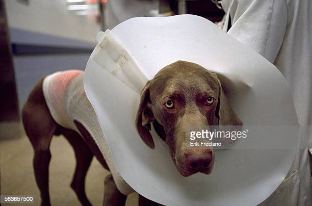 Weimaraner with an Elizabethan collar waits in a hallway of the Animal Medical Center