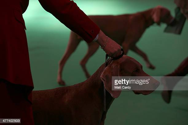 Weimaraners are judged in one of the rings on the fourth and final day of Crufts dog show at the NEC on March 9 2014 in Birmingham England Said to be...