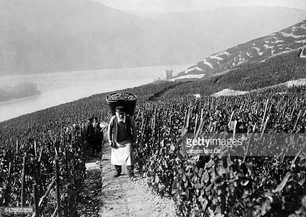 Weinernte in Rüdesheim am Rhein Mann mit vollem Korb im Weinberg im Hintergrund der Rhein undatiert vermutlich 1911Foto Conrad HünichFoto ist Teil...