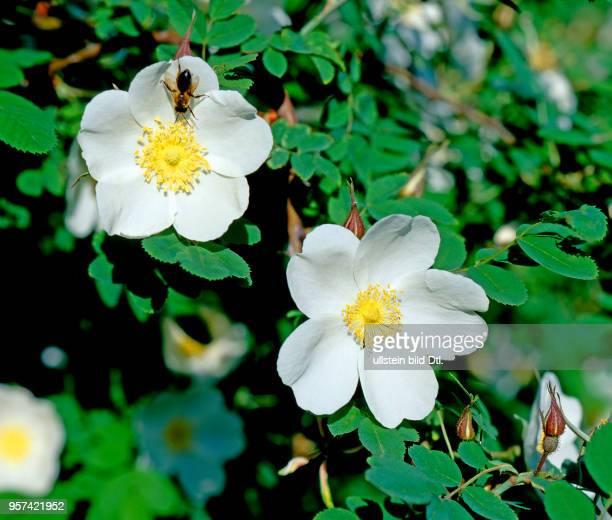 Weisse Heckenrose oder Wildrose mit Bluetenbesuch