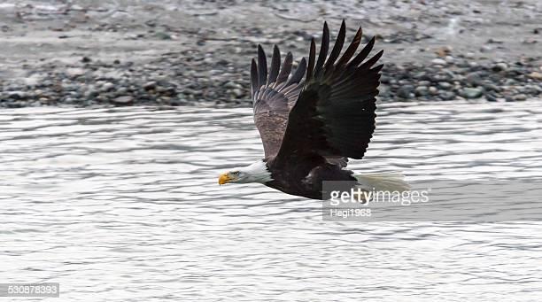 Weisskopfseeadler Bald Eagle