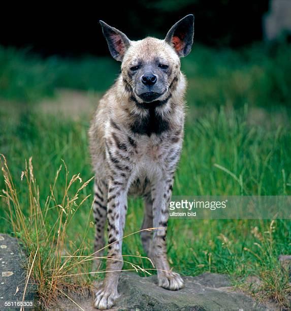 Weit verbreitet in Afrika Arabien und Kleinasien aber nirgends mehr haeufig ist die Streifenhyaene oder Zebrahyaene die nur in der Daemmerung auf...