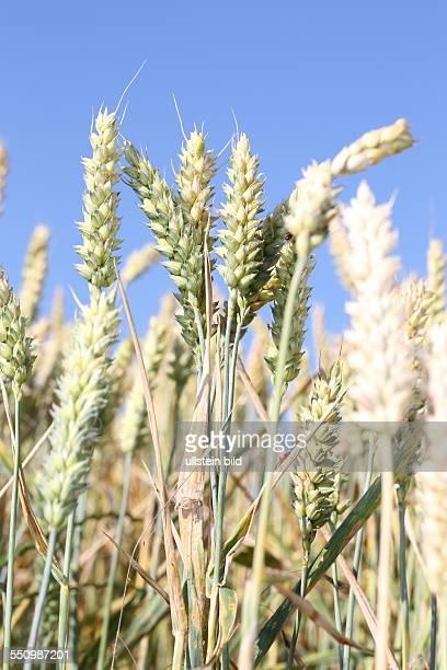 Weizen mehrere Fruchtstaende vor blauem Himmel