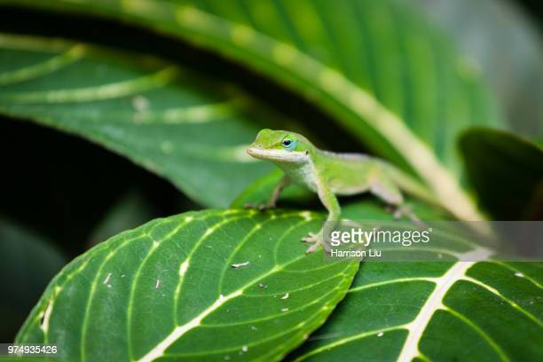 well camouflaged indeed - anole lizard stock pictures, royalty-free photos & images