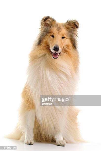 Sablé y blanco collie perro