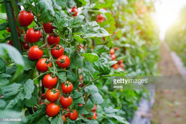 well growing tomatos in green house - tomato stock pictures, royalty-free photos & images