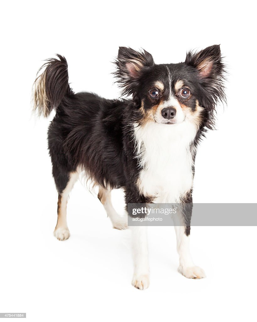 Well Trained Chihuahua Mixed Breed Dog Standing Stock Photo Getty