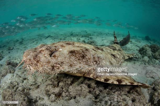 a well-camouflaged tasseled wobbegong shark lies on the sandy seafloor. - fransenteppichhai stock-fotos und bilder