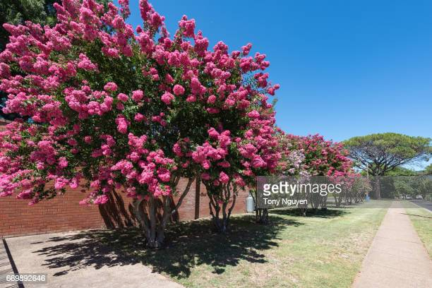 wellington, australia - december 26, 2016: wellington memorial pool, awesome place for summer vacation, with beautiful crepe myrtle blooms. crepe myrtle or lagerstroemia indica or saru-suberi. - crepe myrtle tree stock pictures, royalty-free photos & images