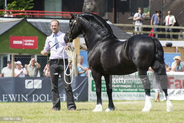 Welsh Cob Stallions being shown in the main ring at the Royal Welsh Show 2016, Wales, UK.