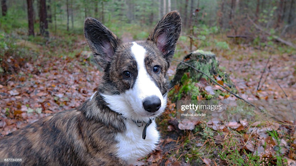 Welsh corgi cardigan puppy : Stock Photo