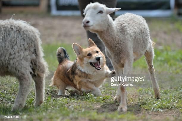welsh corgi dog herding sheep, pembroke, pembrokeshire, england, uk - 働く動物 ストックフォトと画像