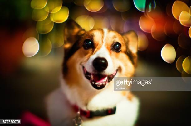 Welsh Corgi Dog Illuminated by Night Lights