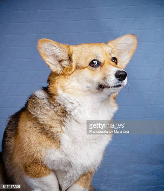 welsh corgi dog portrait - pembroke welsh corgi stock pictures, royalty-free photos & images