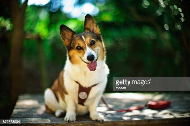 Welsh Corgi Dog Sitting and Smiling in the Forest