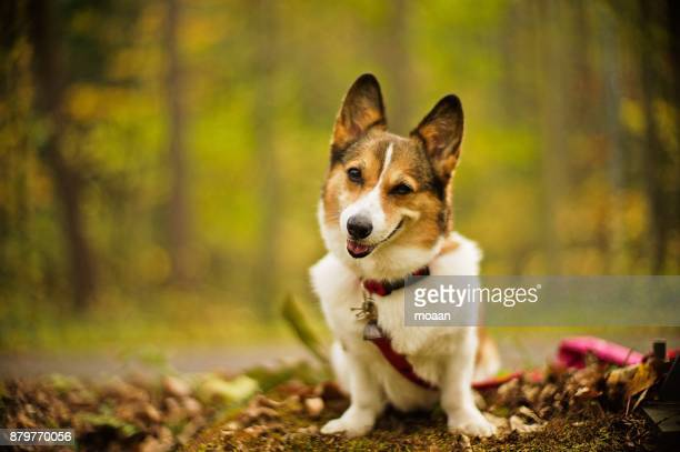 Welsh Corgi Dog Sitting in the Northern Forest