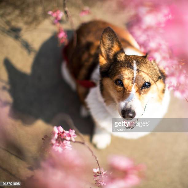Welsh Corgi Dog Smiling in the Weeping Cherry Tree