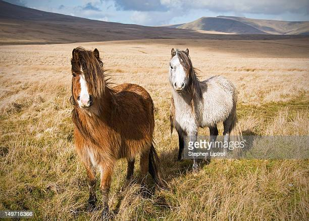 Welsh mountain ponies in Brecon Beacons
