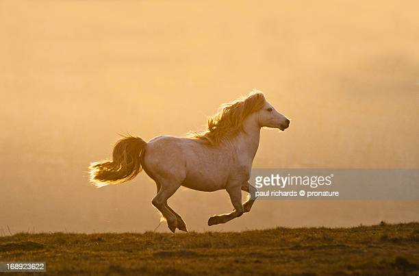 Welsh mountain pony galloping