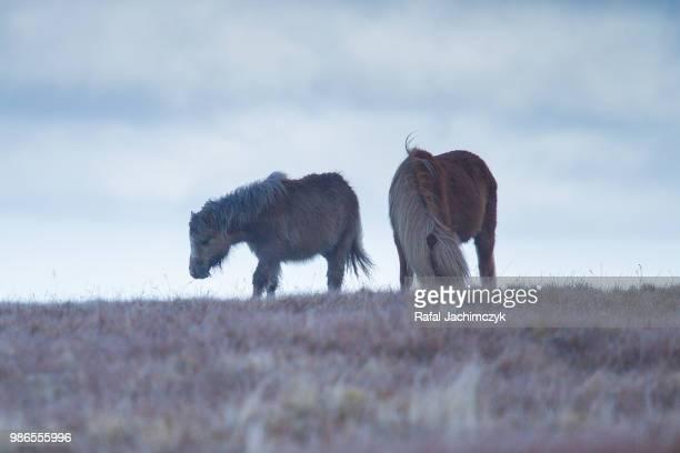 Welsh Mountain Pony in Glyderau range, North Wales