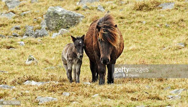 Welsh Mountain Pony..Mother and