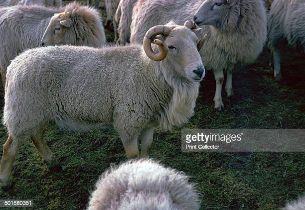 Welsh Mountain ram in the Brecon Beacons.