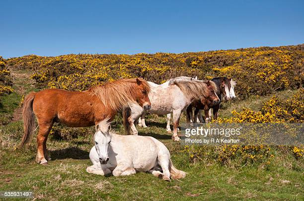 Welsh ponies relaxing in spring sunshine