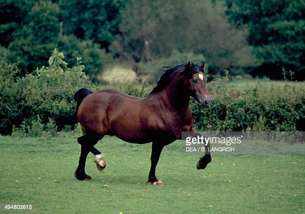 Welsh pony Equidae