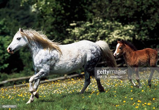 Welsh pony female with foal Equidae
