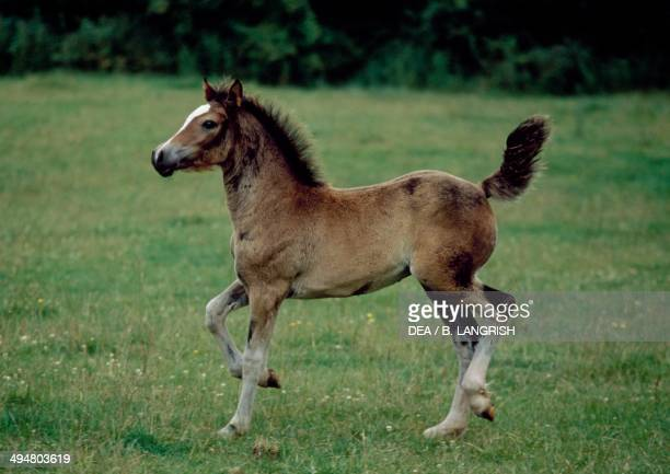 Welsh pony foal Equidae