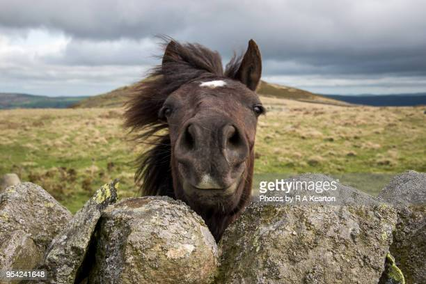 welsh pony looking over a drystone wall - restraint muzzle stock photos and pictures