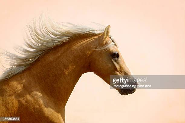 welsh pony - stallion stock pictures, royalty-free photos & images