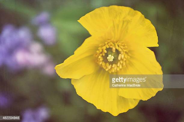 welsh poppy - catherine macbride stock pictures, royalty-free photos & images