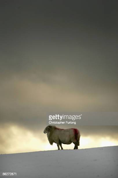 Welsh ram forages for food on the hills and mountains of Snowdonia after the first major snow fall of winter on 25 November 2005 Capel Curig Wales...