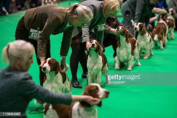 Welsh springer spaniel dogs are judged on the first day of the Crufts dog show at the National Exhibition Centre in Birmingham central England on...
