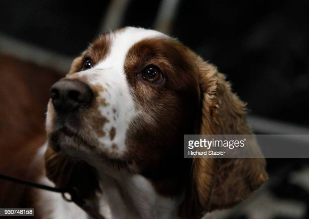 Welsh Springer Spaniel on day four of the Cruft's dog show at the NEC Arena on March 11 2018 in Birmingham England The annual fourday event sees...