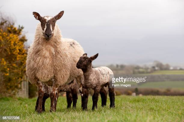 Welsh type mule ewe with suffolk lambs at foot Anglesey Wales