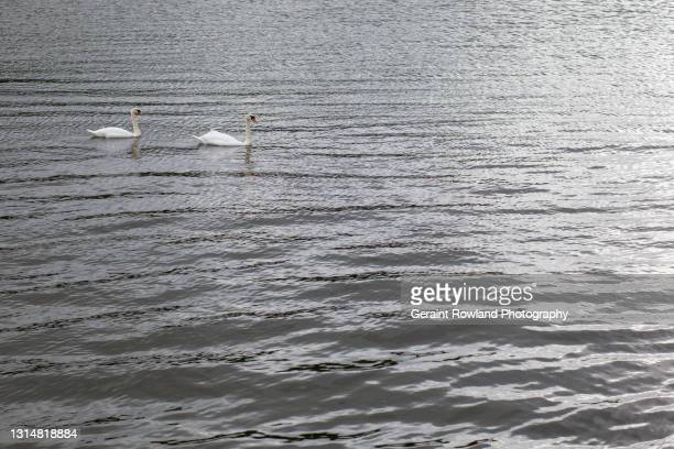 welsh wildlife - geraint rowland stock pictures, royalty-free photos & images