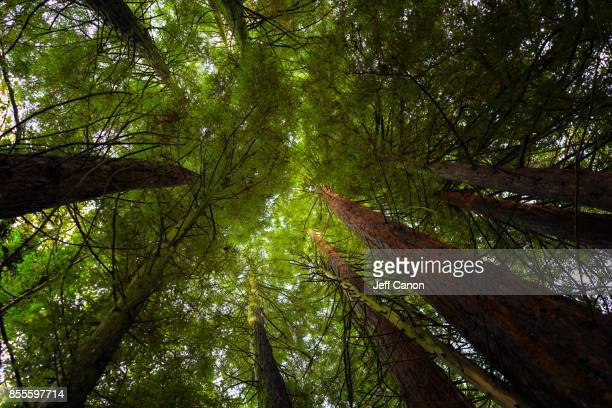 welsh woods - cedar tree stock photos and pictures