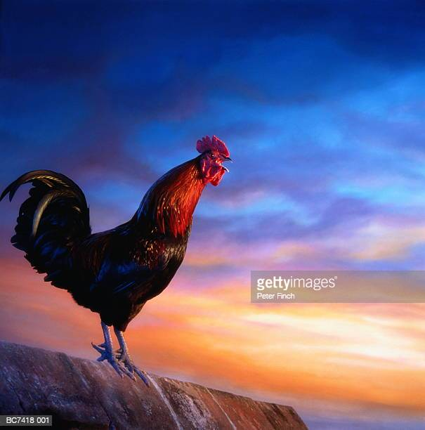 welsummer cockerel crowing at sunrise - cockerel stock pictures, royalty-free photos & images