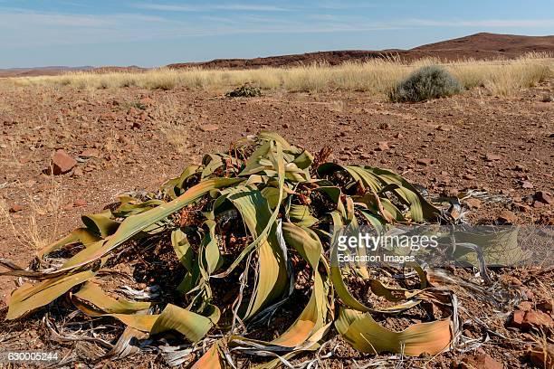 Welwitschia mirabilis Desert Rhino Camp Palmwag Concession Namibia